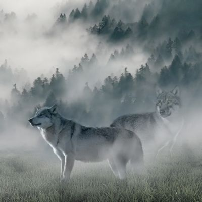 Wolf of Wilderness orejas de conejo