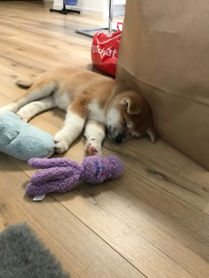 Akita Yura tired after playing with Wubba
