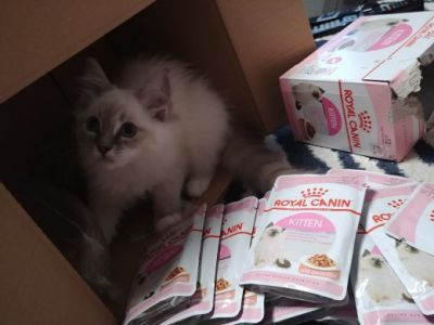Royal Canin Kitten i kicia