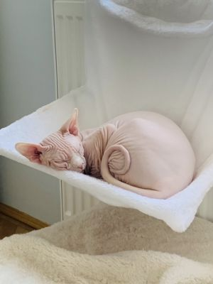 Tukito the sphynx