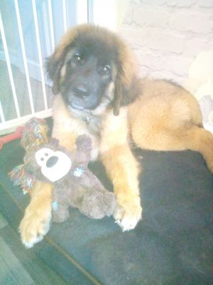 leonberger puppy loves her toy