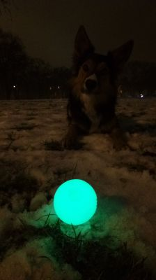 Cosmo- The Border Collie- and his MaxGlow ball