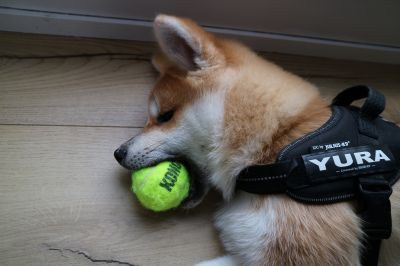 Akita puppy Yura with Kong ball