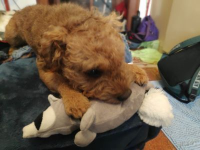 Racoon with Lakeland Terrier