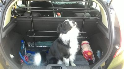 Border Collie 3 anni e Ford Fiesta