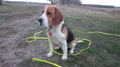 Duncan the beagle with his 10m long leash