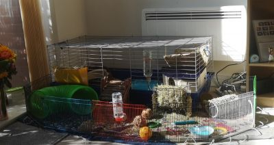 Great cage for my two Guinea Pigs