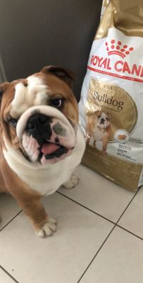 Royal canin Bulldog Anglais