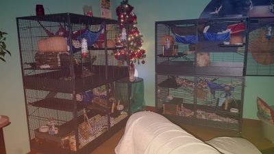 Nice and cozy seven rats per cage - plenty of room