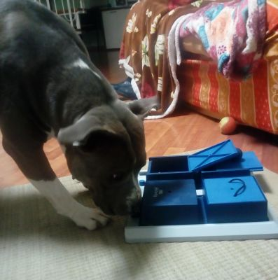 Pitbull Clementi Blue Eve for Trixie Poker Box