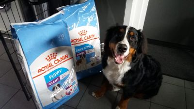 Simba the Bernese Mountain Dog