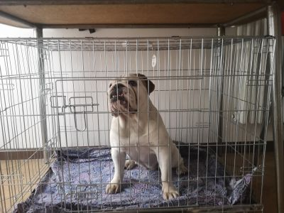 Kennel dimensione bulldog