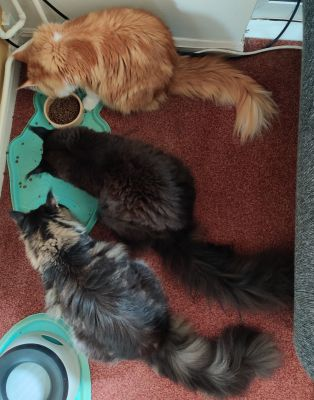 3 mainecoons feeding