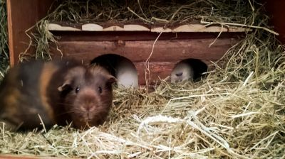 New cabin for the guinea pigs