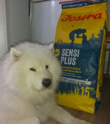 Samoyed loves Josera