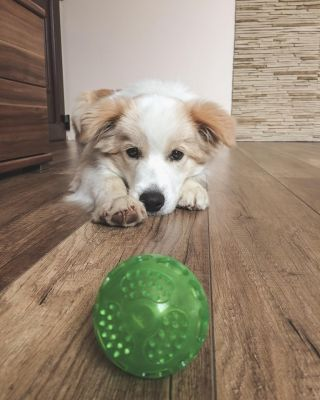 My bc puppy with his TPR ball