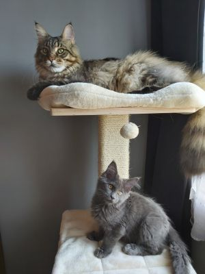 Mes maine coons