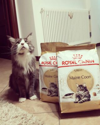 Zampo loves Maine Coon bread