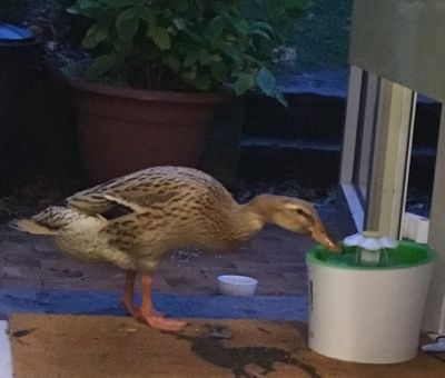 Donna the duck also love the cat fountain