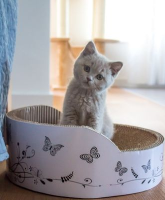 Rosy british shorthair